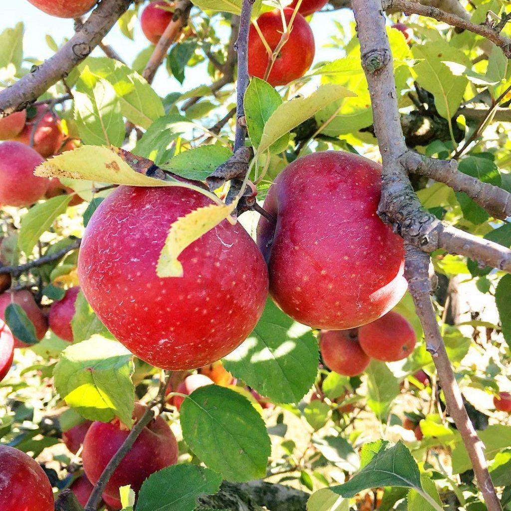 яблоки яблоня ветка урожай