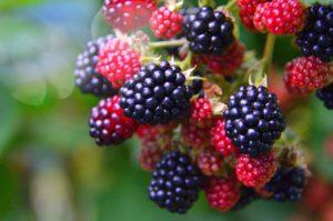 малина ежевика фрукты ягоды вырастить куст