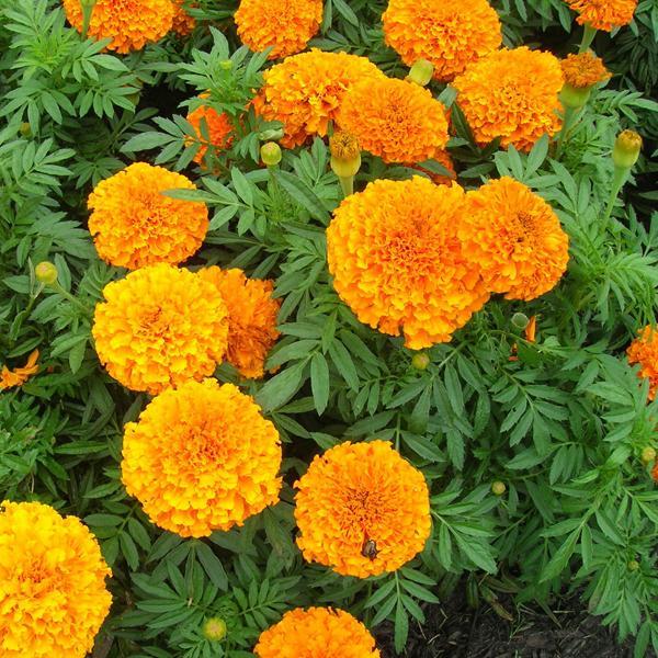 Бархатцы цветы однолетние растения однолетники рассада клумба