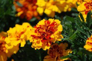 Бархатцы силикагель сушка цветы сухоцветы однолетние растения