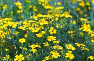 бархатцы Lemon Gem ароматные однолетние растения однолетники