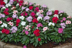 барвинок цветы однолетние однолетники растения