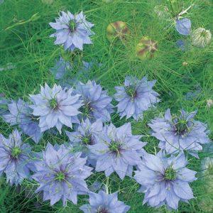 Чернушка дамасская цветы однолетние растения однолетники рассада клумба Девица в зелени