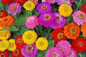 цинния силикагель сушка цветы сухоцветы однолетние растения