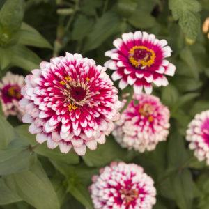 цинния цветы однолетние растения однолетники рассада клумба