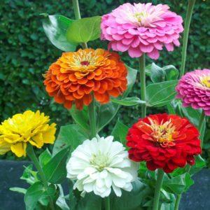 Цинния изящная цветы однолетние однолетники растения