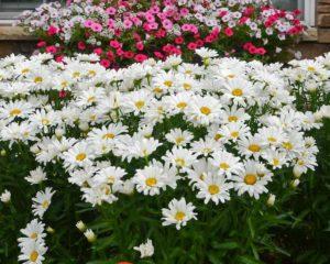 цветы однолетние однолетники растения хризантемы ромашки