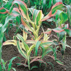 декоративная кукуруза цветы однолетние растения однолетники рассада клумба