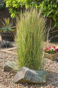 декоративная трава цветы однолетние растения однолетники рассада клумба