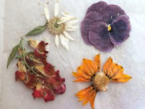 прессование цветы растение однолетние сушка