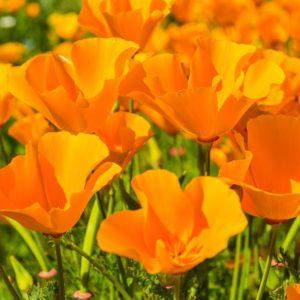 Эшшольция калифорнийская цветы однолетние растения однолетники рассада клумба