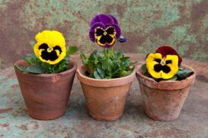 Фиалка Виттрока цветы однолетние однолетники растения садовые анютины глазки