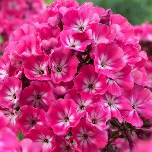 Флокс цветы однолетние растения однолетники рассада клумба