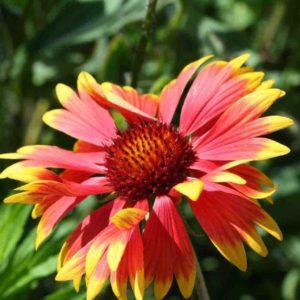 Гайлардия цветы однолетние растения однолетники рассада клумба