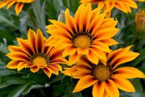 Газания цветы однолетние растения однолетники рассада клумба