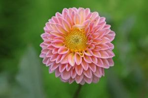 Георгина цветы однолетние растения однолетники рассада клумба