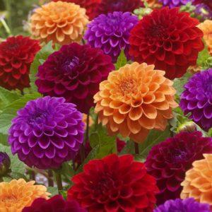 георгина силикагель сушка цветы сухоцветы однолетние растения