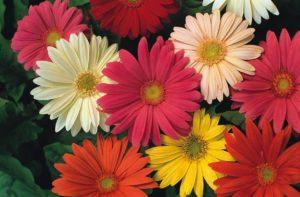Гербера цветы однолетние однолетники растения