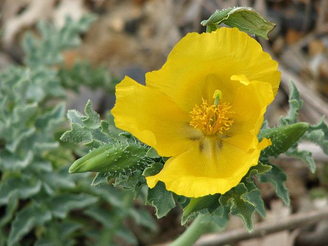 Глауциум жёлтый цветы однолетние растения однолетники рассада клумба