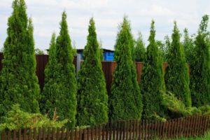 Лучшее время для посадки дерева хвойные вечнозеленые