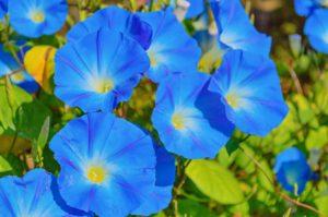 ипомея цветы однолетние растения однолетники рассада клумба