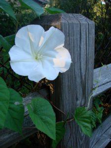 Ipomoea violacea Moonflowers ароматные однолетние растения однолетники