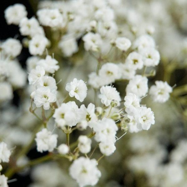Качим цветы однолетние растения однолетники рассада клумба
