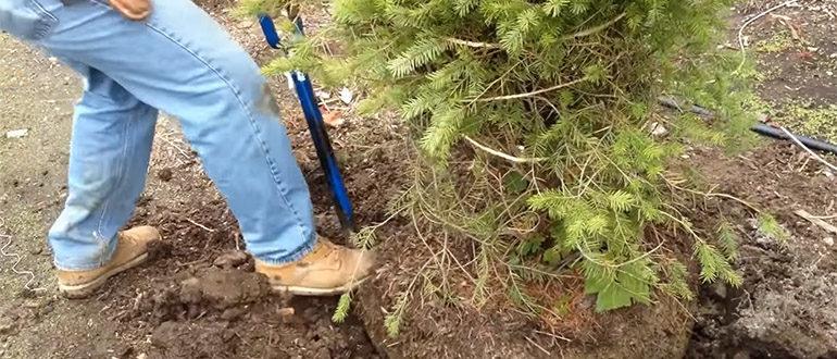 Как пересадить дерево