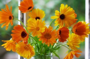 календула цветы однолетние однолетники растения