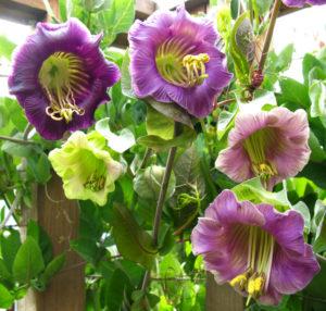 Кобея лазающая цветы однолетние растения однолетники рассада клумба