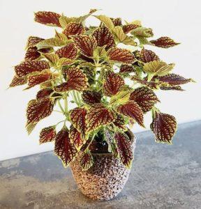 Колеус цветы однолетние однолетники растения