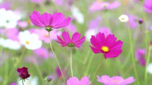 Космея цветы однолетние растения однолетники рассада клумба
