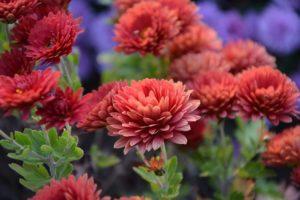 бордовые хризантемы цветы клумба