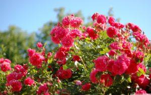 использовать английскую соль в саду сульфат магния соль эпсома удобрение розы