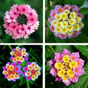 Лантана силикагель сушка цветы сухоцветы однолетние растения
