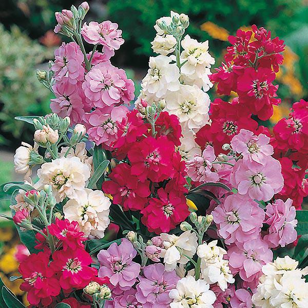 Левкой цветы однолетние однолетники растения