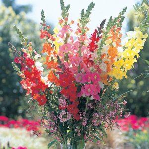 Львиный зев цветы однолетние однолетники растения