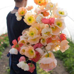 маки цветы однолетние однолетники растения букет женщина