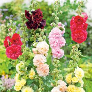 мальва силикагель сушка цветы сухоцветы однолетние растения