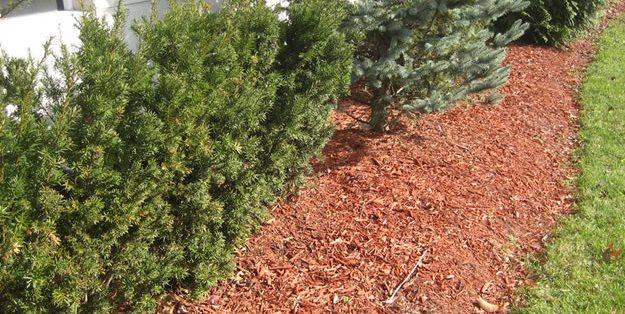 хвойные деревья вечнозеленые мульча цветочные клумбы