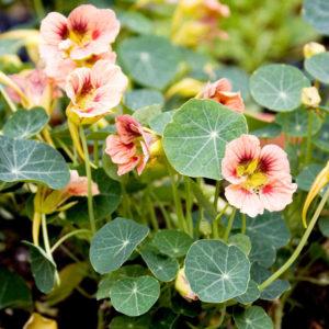 Настурция цветы однолетние растения однолетники рассада клумба