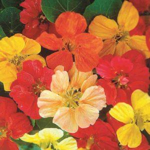 Настурция силикагель сушка цветы сухоцветы однолетние растения