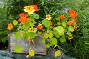 Настурция цветы однолетние однолетники растения Капуцин