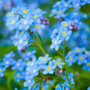 Незабудка цветы однолетние растения однолетники рассада клумба