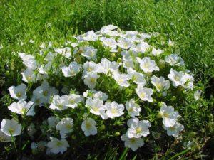 Нирембергия цветы однолетние растения однолетники рассада клумба