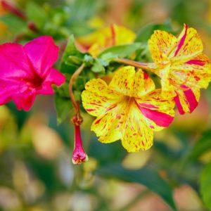 Ночная красавица ялапа Мирабилис слабительный цветы однолетние растения однолетники рассада клумба