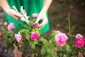 ароматный сад розы бутон отцветший увядший секатор