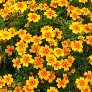 Orange Gem бархатцы ароматные однолетние растения однолетники