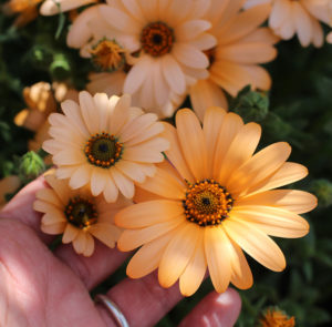 Остеоспермум (африканская ромашка) цветы однолетние однолетники растения