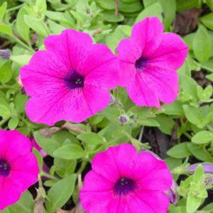 Петуния ароматные однолетние растения однолетники